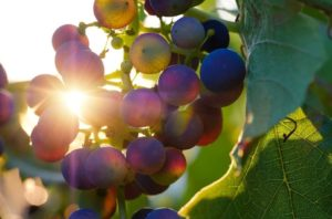Trauben im Weinanbau